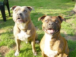 Pic of 2 Staffie Dogs